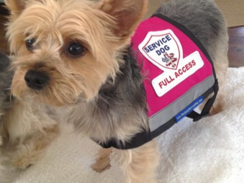 photo of yorkie wearing fake service dog